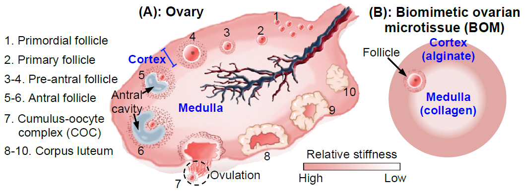 Mimicking Mechanics In The Ovary May Offer Key To Infertility
